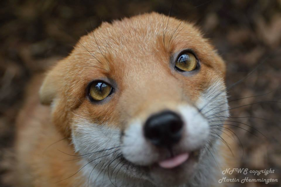 pudding-fox-too-tame-nfws-facebook