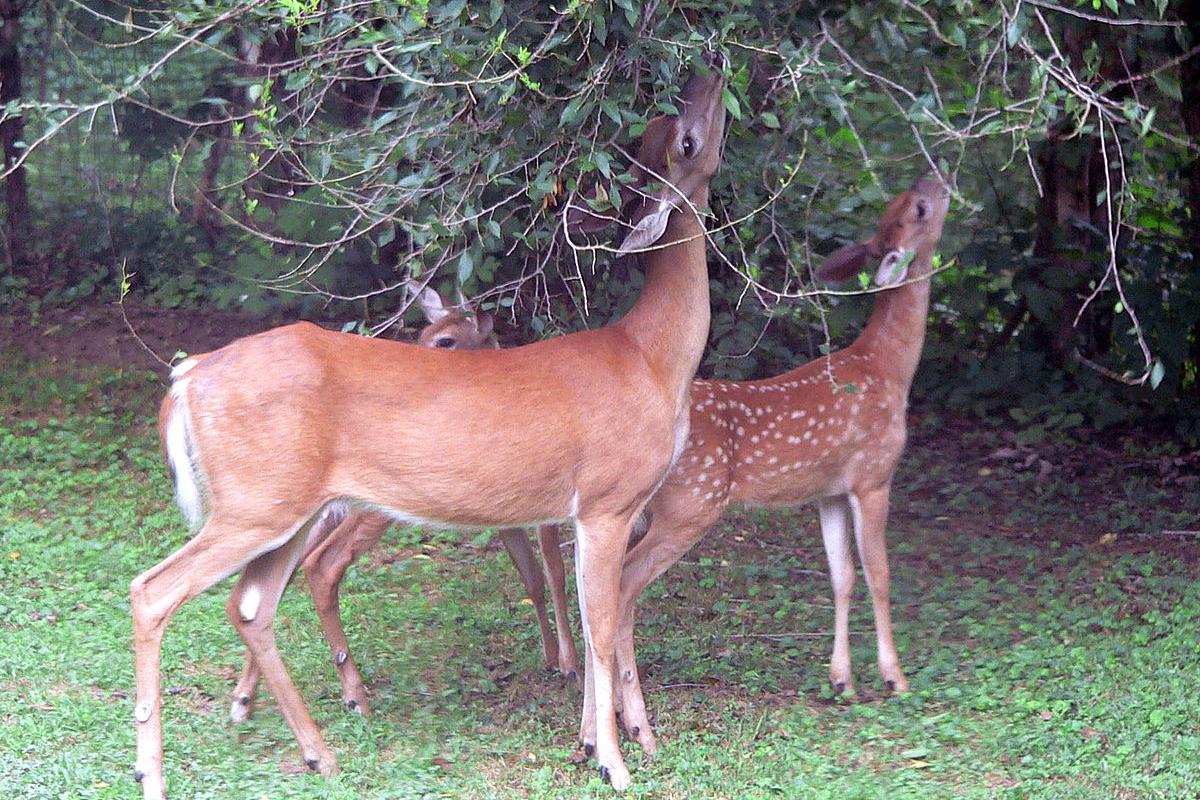 web-deer-eating-trees-raul654-cc