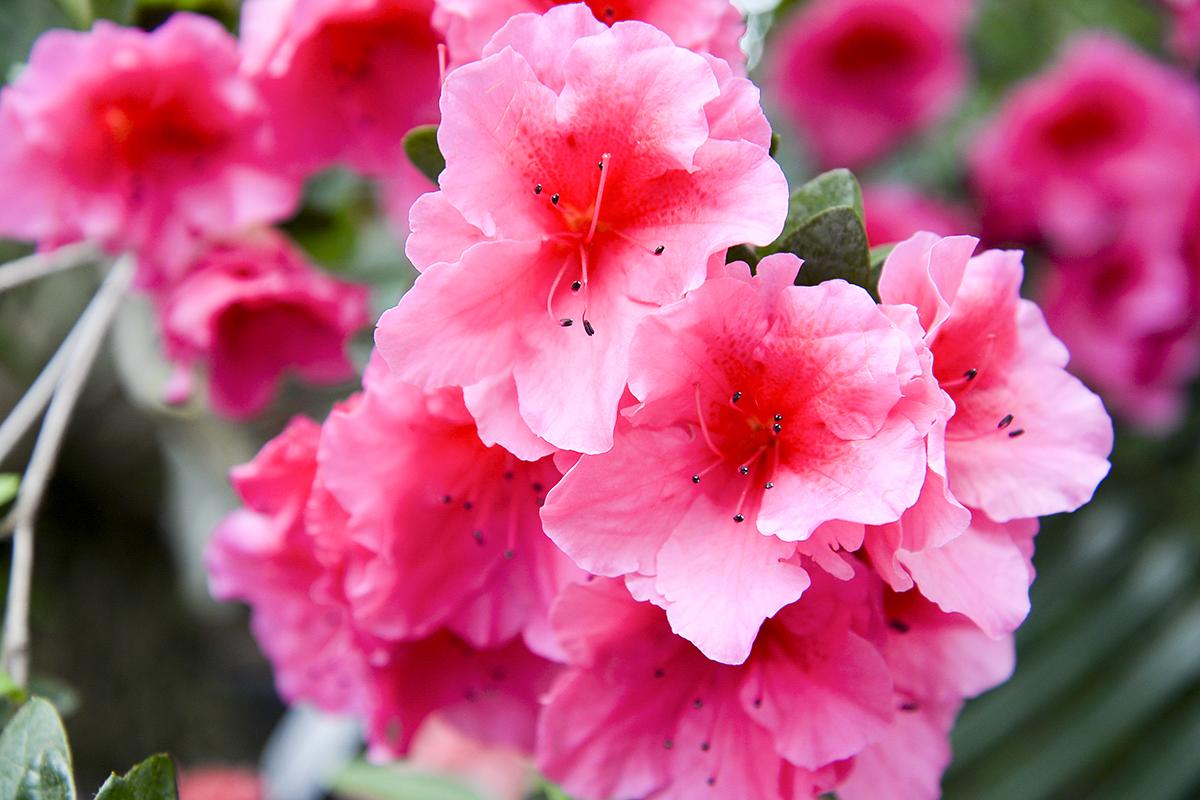 web-flower-azalea-shutterstock_399336562
