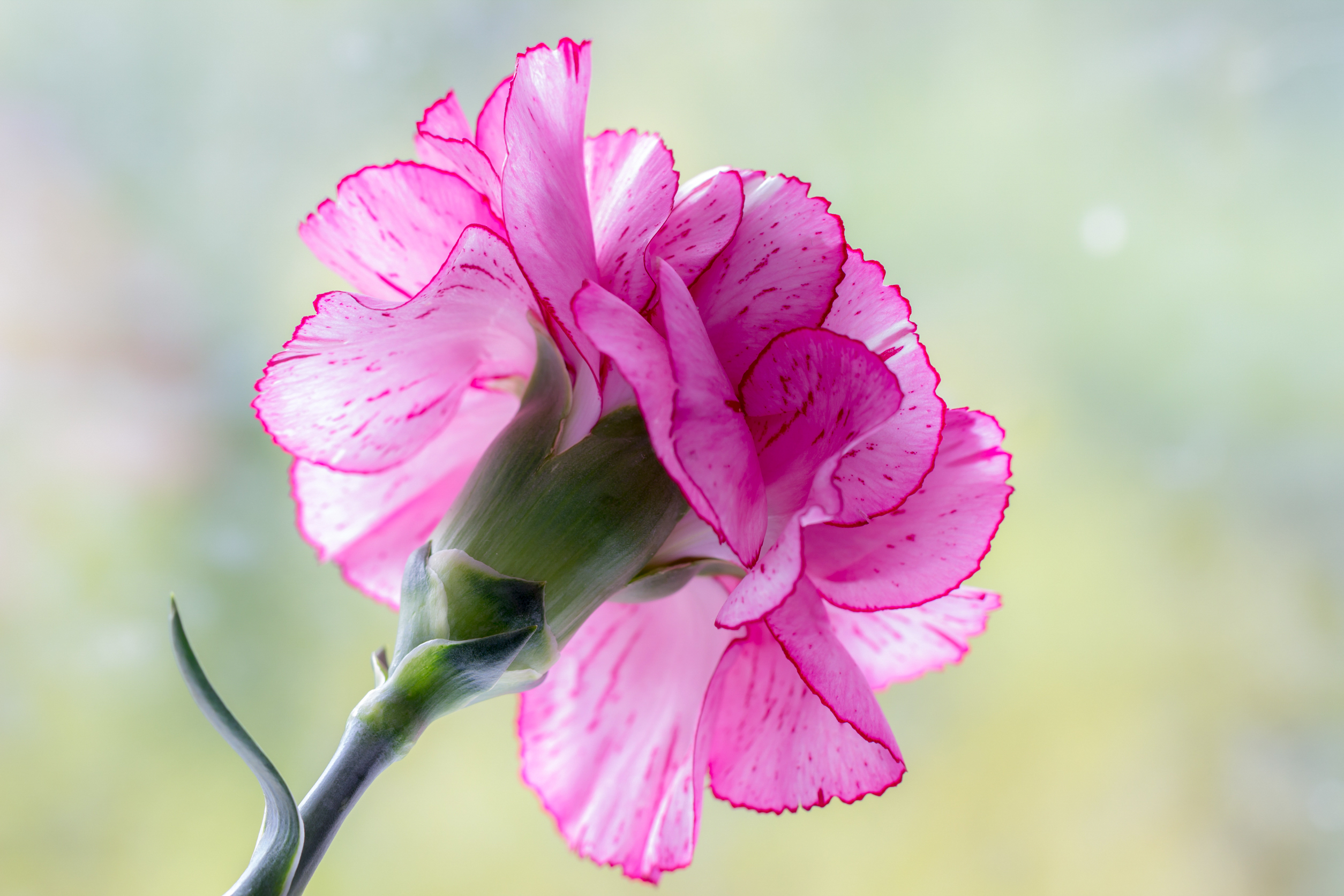 web-flower-carnation-shutterstock_398939218