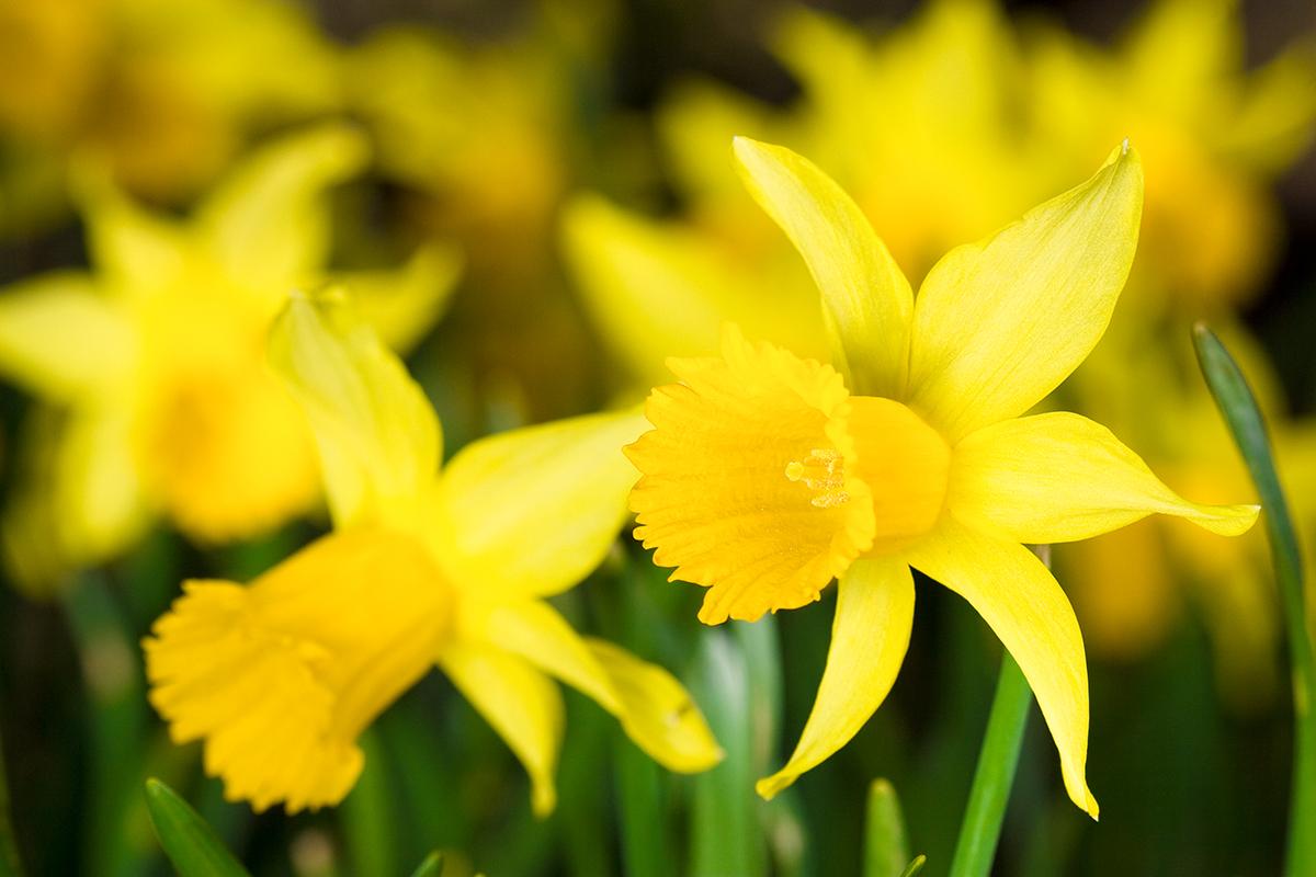 web-flower-dafodil-shutterstock_55366165