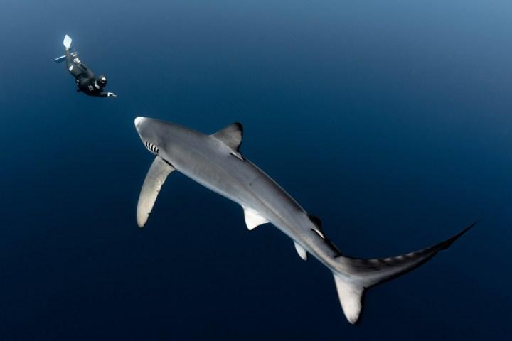 SHARK,DIVER.ILLUME