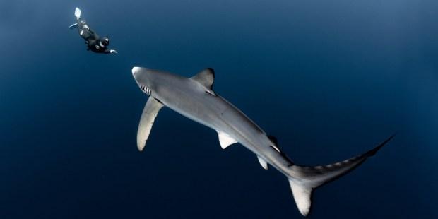 Shark, Diver