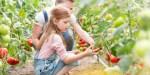 Child Harvesting Tomatoes