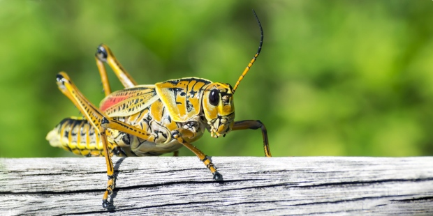 CRICKET,INSECT