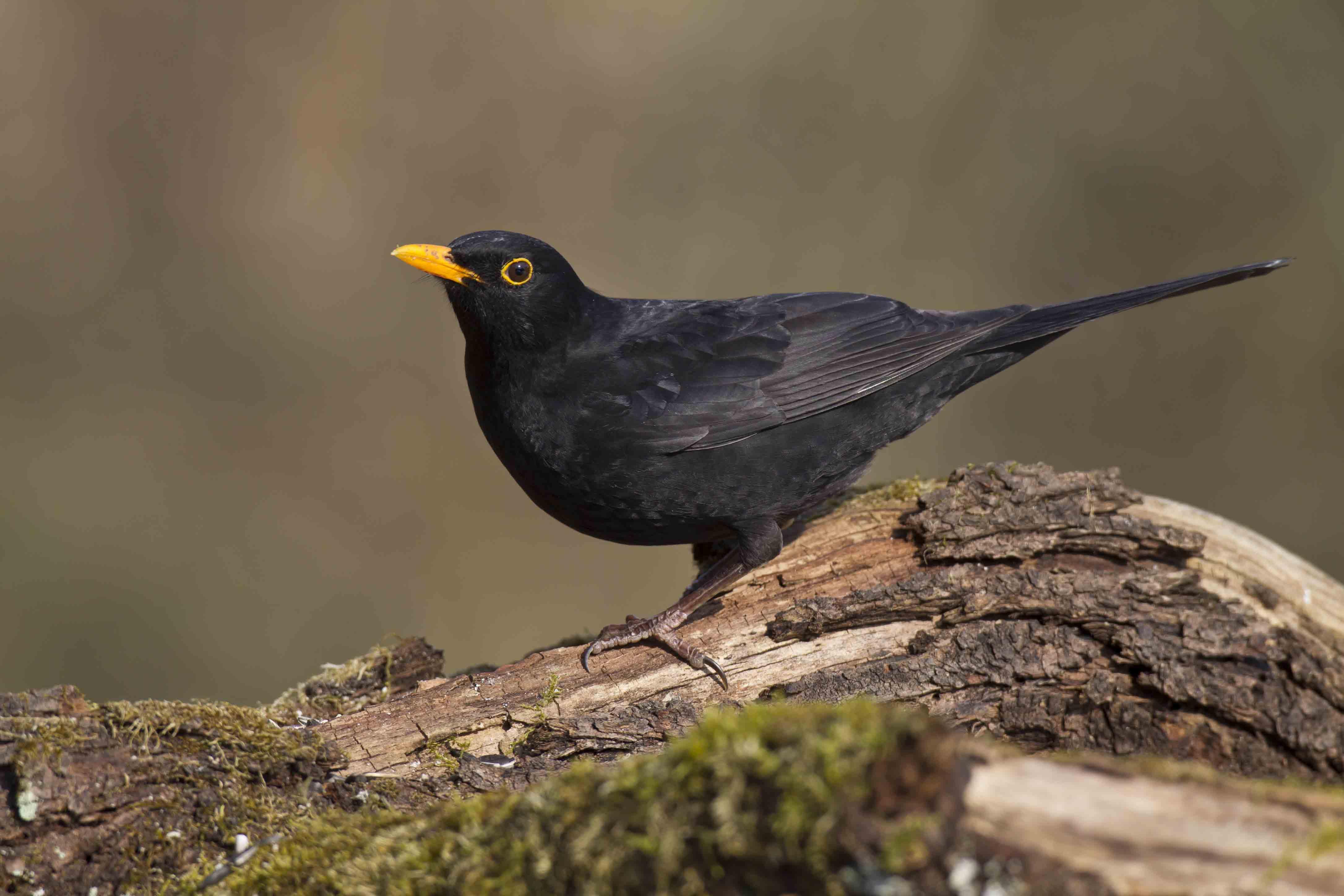 BLACKBIRD,CHRISTIAN SYMBOLISM
