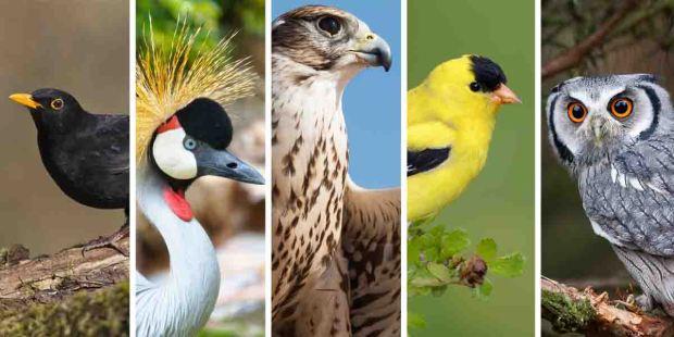 OWL,BLACKBIRD,CRANE,GOLDFINCH,FALCON