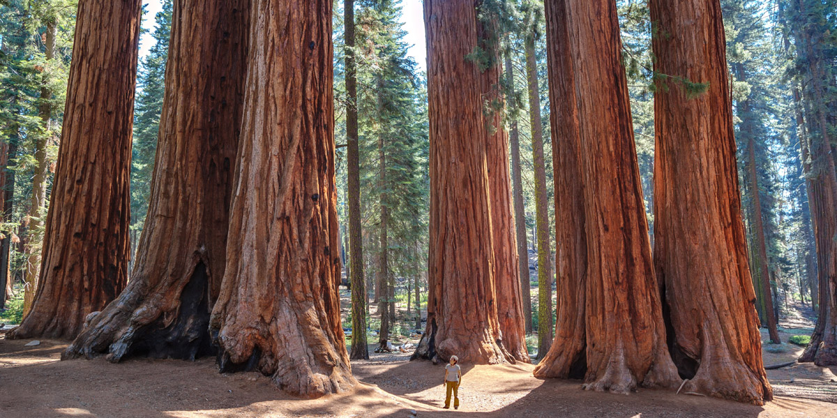REDWOOD,FOREST,CALIFORNIA