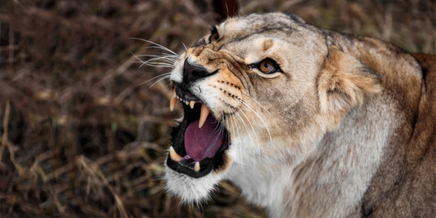 LIONESS,GROWLING