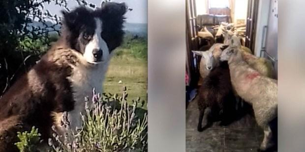 DOG,SHEEP