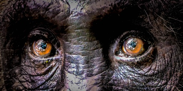 CHIMPANZEE EYES