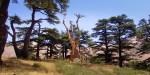 CEDAR,LEBANON,TREE