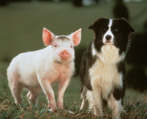 BABE,PIG,MOVIE