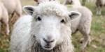 LAMB,SHEEP