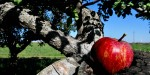 APPLE,APPLE TREE