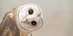OWL, HEAD, BROWN