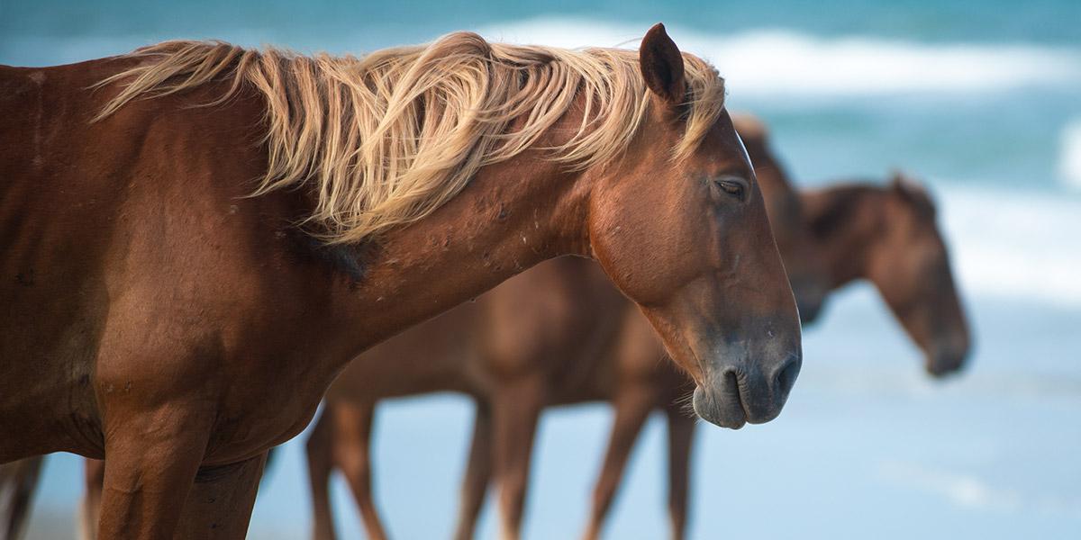 Corolla Horse, Spanish Mustang, North Carolina
